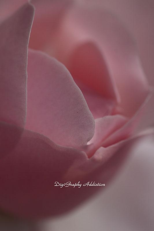 0524-Roses 047