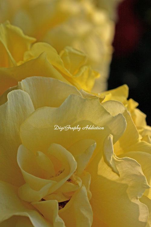 0524-Roses 027