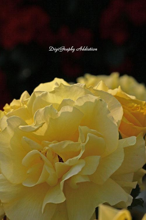 0524-Roses 028