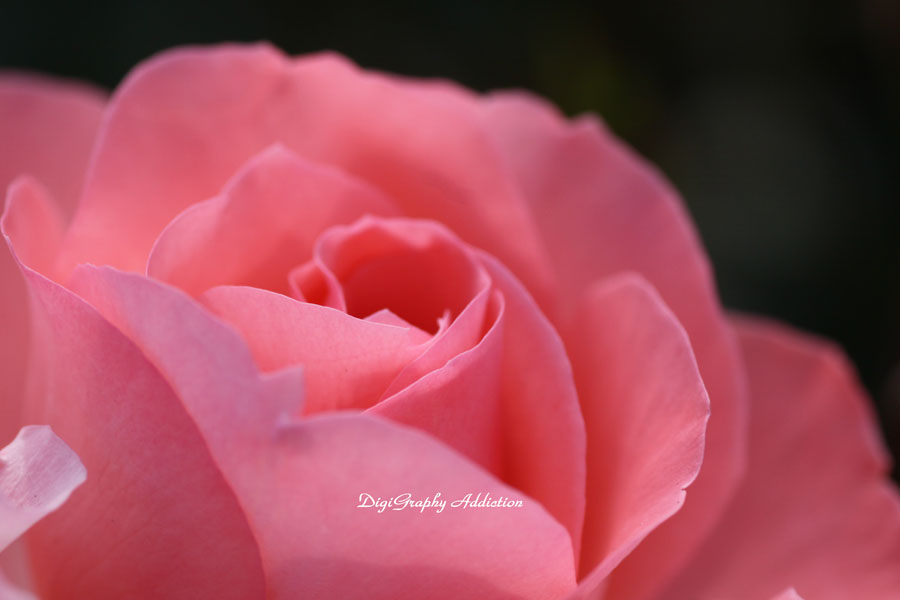 0524-Roses 009