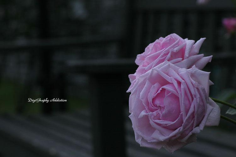 0524-Roses 023