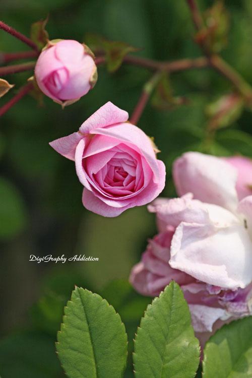 0524-Roses 080