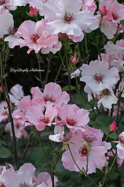 0524-Roses 022