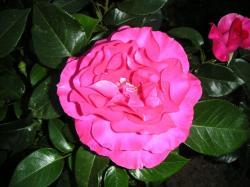 庭の薔薇も咲き始めました