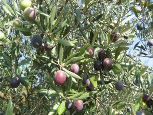 1-オリーブ木