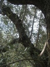 未剪定の木