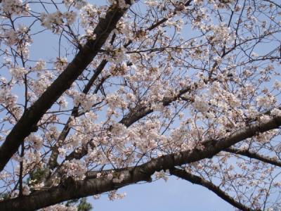 桜も満開に咲いてます!