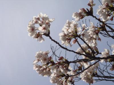 桜リベンジ