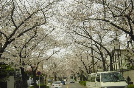瑞穂区の桜のトンネル