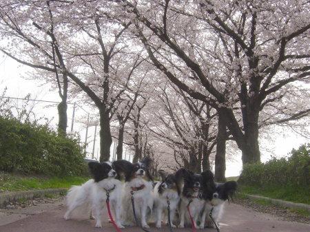 桜の散歩道♪