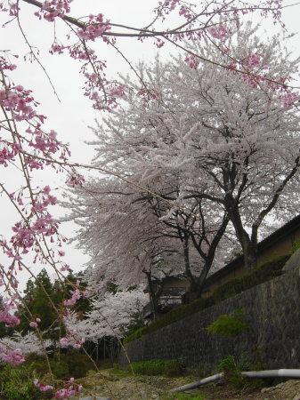 弓削寺の桜