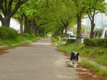 新緑の桜の散歩道