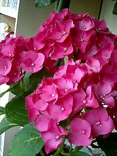 買った紫陽花