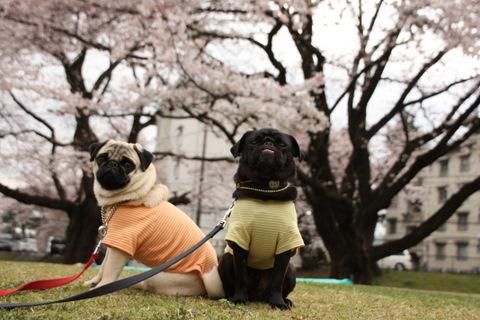 まめ茶と桜