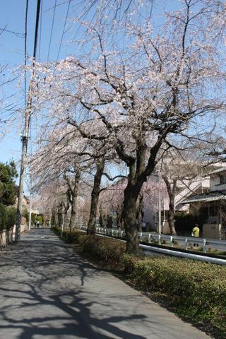しだれ桜並木