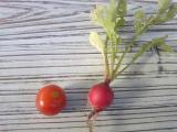 プチトマトとラディッシュ