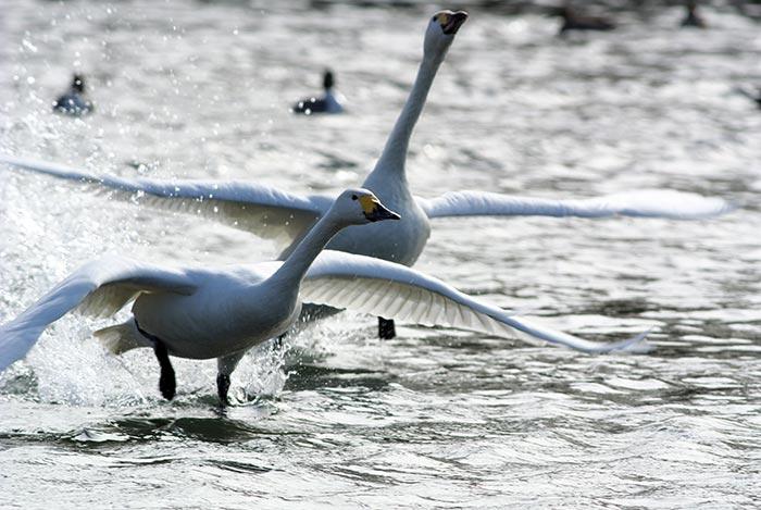 白鳥-(1)