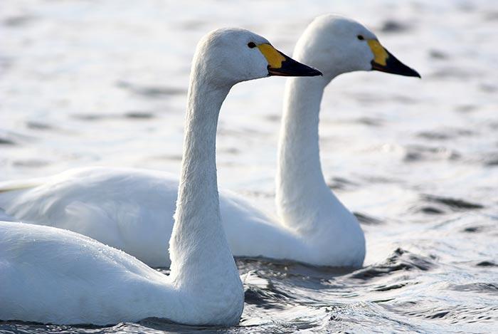 白鳥-(2)