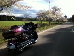 桜ウルトラ