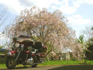 垂れ桜とウルトラ