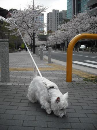 桜並木①.JPG