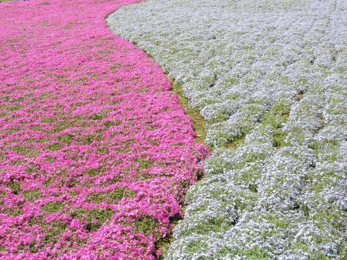 ピンクと白のツートン