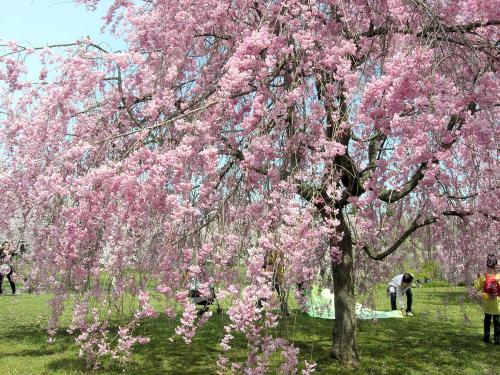 しだれ桜全体