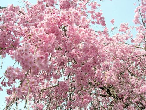しだれ桜・ピンク