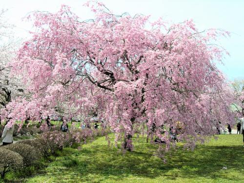 しだれ桜・全体