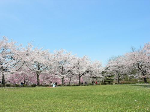 しだれ桜・広場