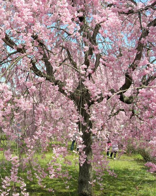 しだれ桜・縦