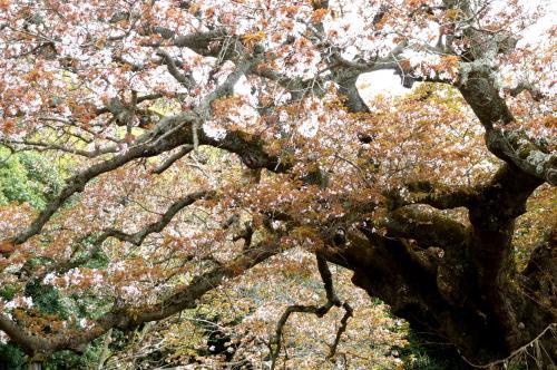 吉高の桜の枝振り