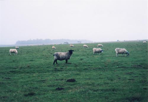 ストーンヘンジの羊