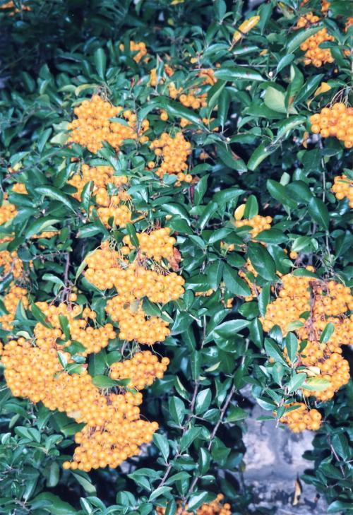 カッスルクーム花