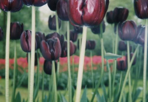 赤黒いチューリップ_convert_20110708020142