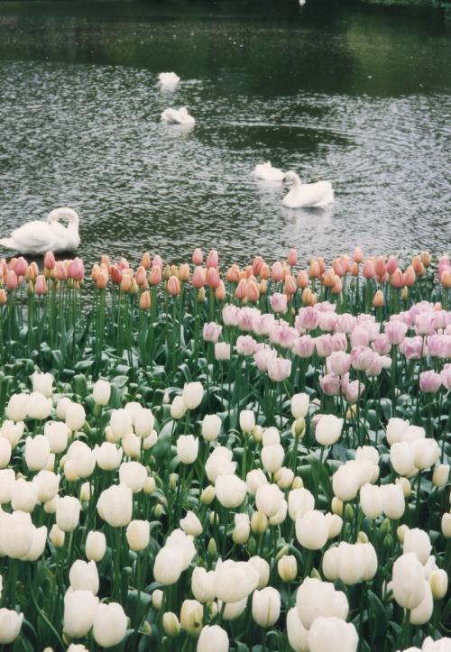 白鳥とチューリップ_convert_20110708020302