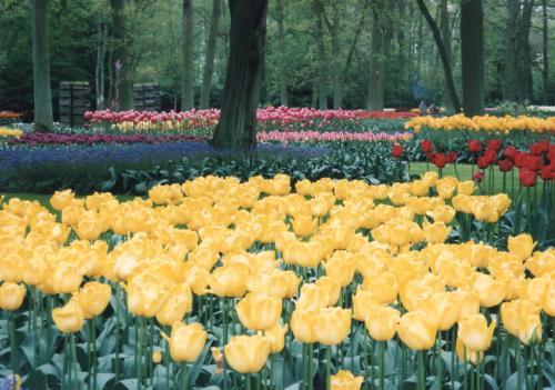 チューリップ公園_convert_20110708020019