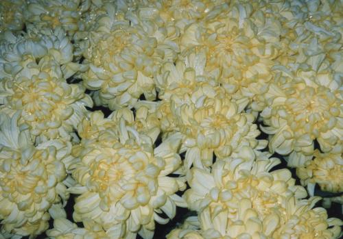 黄色い菊_convert_20110708191349
