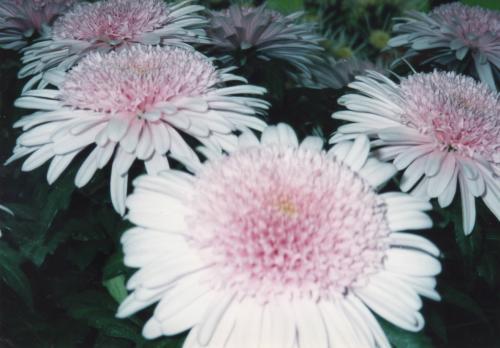 ピンクの菊_convert_20110708191307