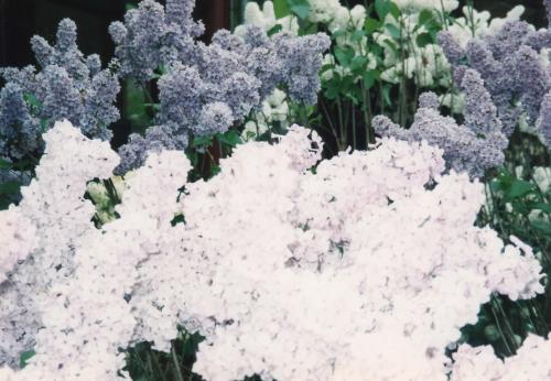 白と青の花_convert_20110708191556