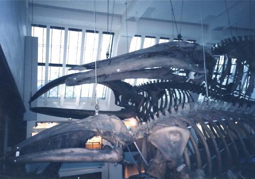 クジラの骨