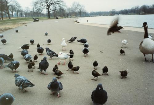 ハイドパークの鳥_convert_20120226160540
