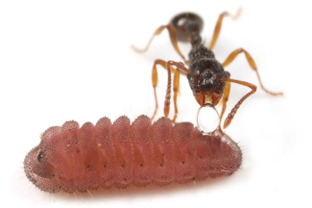シワクシケアリとボマシジミの幼虫