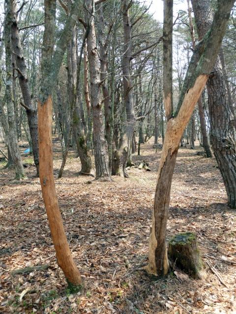 樹皮を剥かれた木