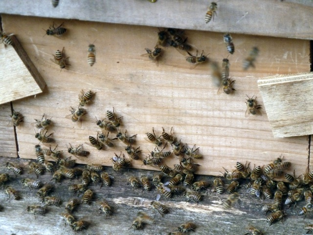入口がわからない蜂たち