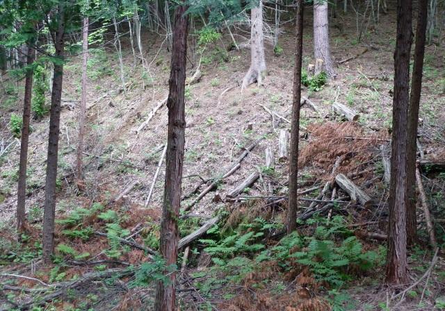 間伐された広葉樹