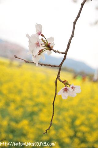 桜と菜の花_タテ