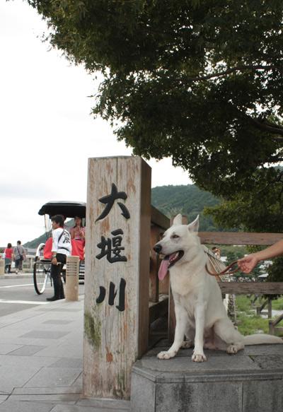 ホワイトシェパードin嵐山
