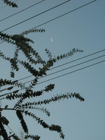 ユーカリと月