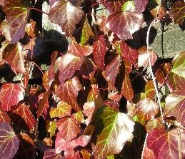 オカメヅタの紅葉